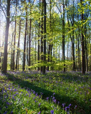 Spring bluebells in woodland near Clumber in Nottinghamshire, England UK
