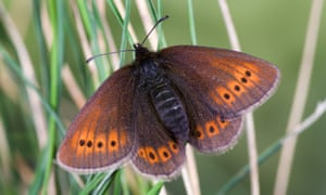 mountain ringlet at rest