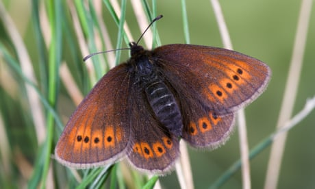 Mountain butterflies 'will have to be relocated as habitats get too hot'