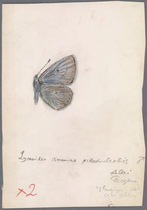 Wing pattern of ismenias Meigen 1829