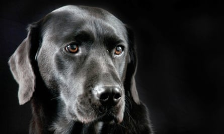 The study used samples of semen from a carefully monitored population of labradors, border collies, German shepherds and golden retrievers used as stud to breed dogs intended to help the disabled.