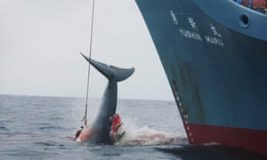 A Japanese whaling ship draws in an injured whale