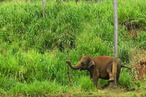 An elephant is seen at the Pinnawala Elephant Orphanage in Pinnawala, Sri Lanka, about 90 km from the capital Colombo