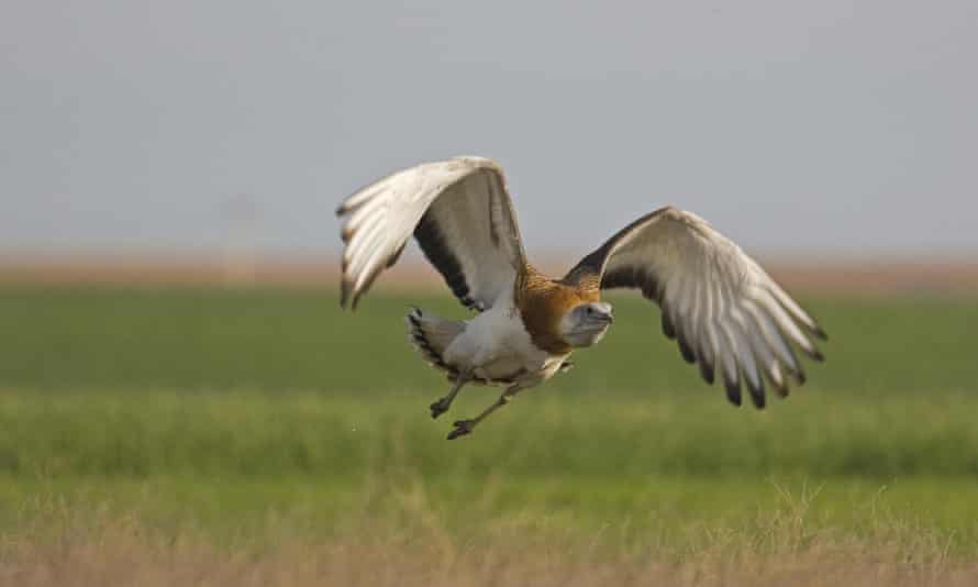 The great bustard takes to the air