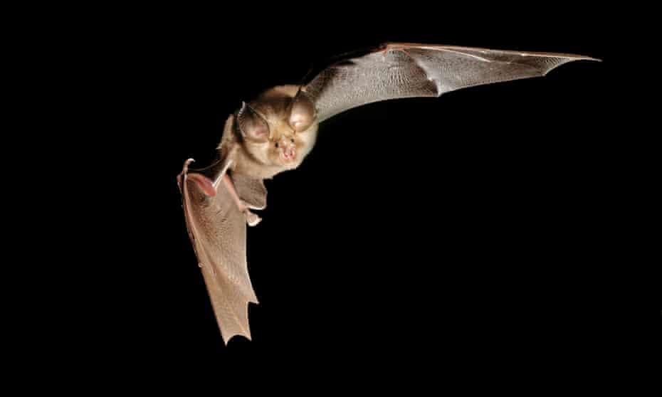 Greater horseshoe bat.