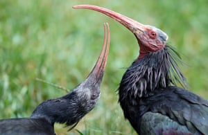 Two hermit ibis