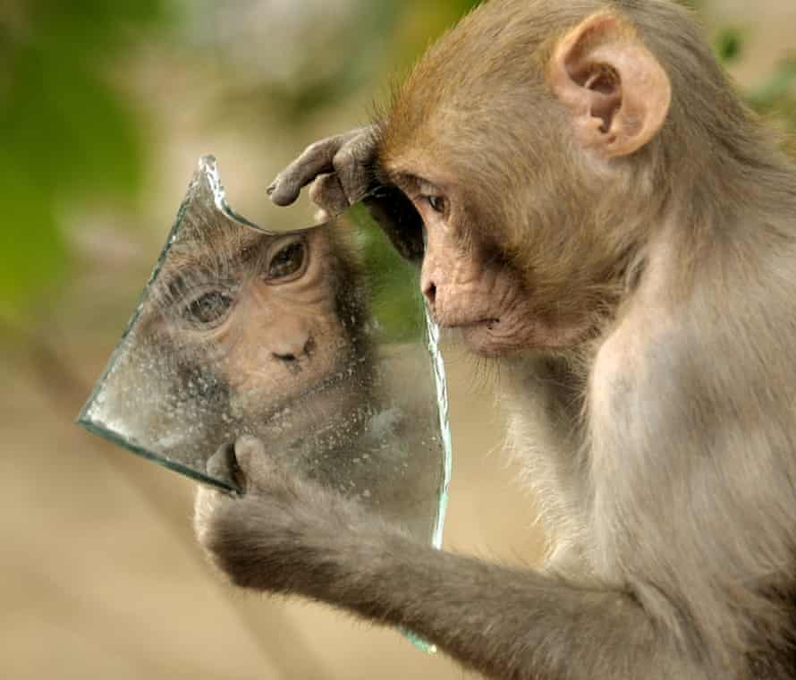 A monkey stares at its reflection in a mirror