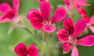 Pelargonium fragrans 'Concolor Lace'