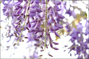 Wisteria starting to bloom after rain