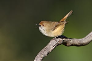 A King Island brown thornbill is a passerine bird usually found in eastern and south-eastern Australia, including Tasmania