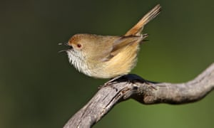 The King Island brown thornbill
