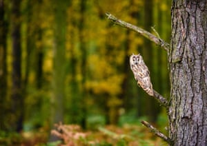 Little Owl in Autumn Foliage, near Masham, UK