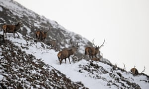 Deer grazing in the snow near Auchallater in Braemar, Scotland