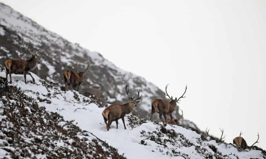 Deer graze in the snow near Auchallater in Braemar, Scotland
