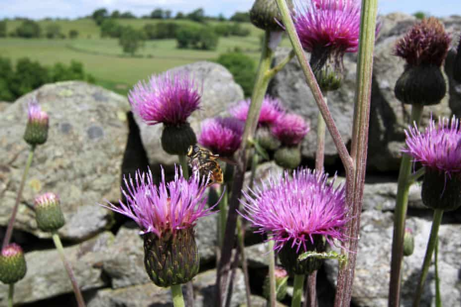 Thistles in the North Pennines area of outstanding natural beauty.