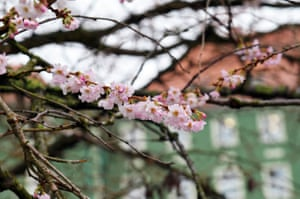 Blossoming cherry tree in Szczecin, Poland. This year's December is already the fifth consecutive year with the temperature above normal.