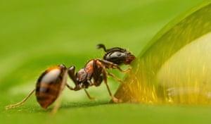 A monomorium kiliani ant feeding on a drop of honey on the leaf of a Swiss cheese plant.