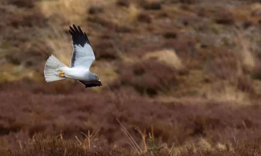 Hen harrier at Langholm Moor, Scotland