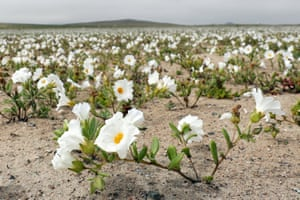 Desert flowers bloom in the Atacama desert, Chile, after unexpected rains