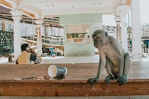 After the loss of green space, the urban monkey gangs of Kuala Lumpur, Malaysia – long-tailed macaques – try adapting to city life