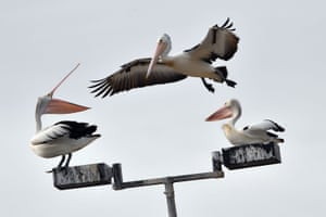 An Australian pelican tries to find space on a street light pole on Botany Bay, Sydney