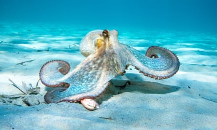 The octopus has 'a brain that is spread throughout its body and arms that can think independently'