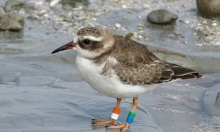 A juvenile shore plover – or tūturuatu - in New Zealand, where it is critically endangered.