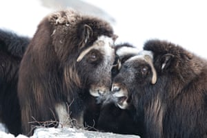 A pair of Muskox