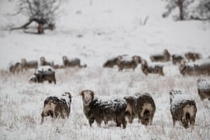 Sheep receive a dusting on the Monaro plains beside the Adaminaby-Berridale backroad