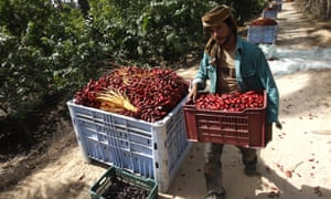 A Palestinian farmer carries dates harvested in Khan Yunis, in the Gaza Strip