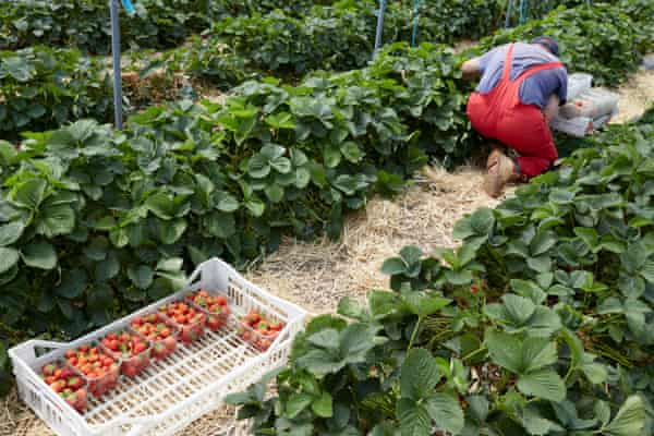 Workers from eastern Europe pick strawberries on a farm in Kent.