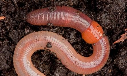 Earthworm (Lumbricus terrestris)