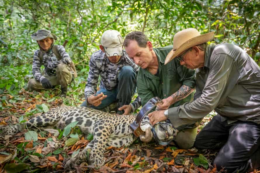 Researchers place a GPS collar on a jaguar for research and monitoring.
