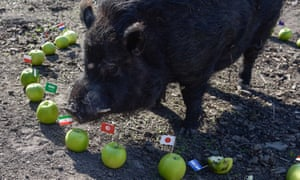 Mystic Marcus: is the World Cup's psychic pig really 100