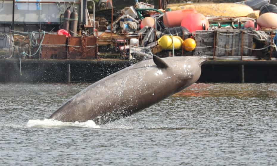 A Northern Bottlenose whale breaches in the Clyde. Three northern bottlenose whales have been stuck in Gare Loch near Faslane Naval Base, apparently unable to find their way back to the North Atlantic.