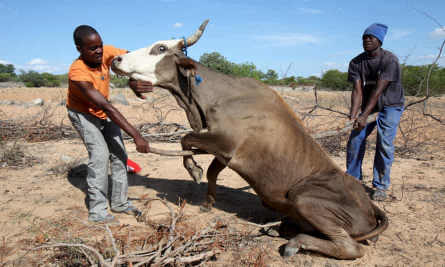 Zimbabwean farmers attempt to get a malnourished cow on its feet in rural Masvingo in January