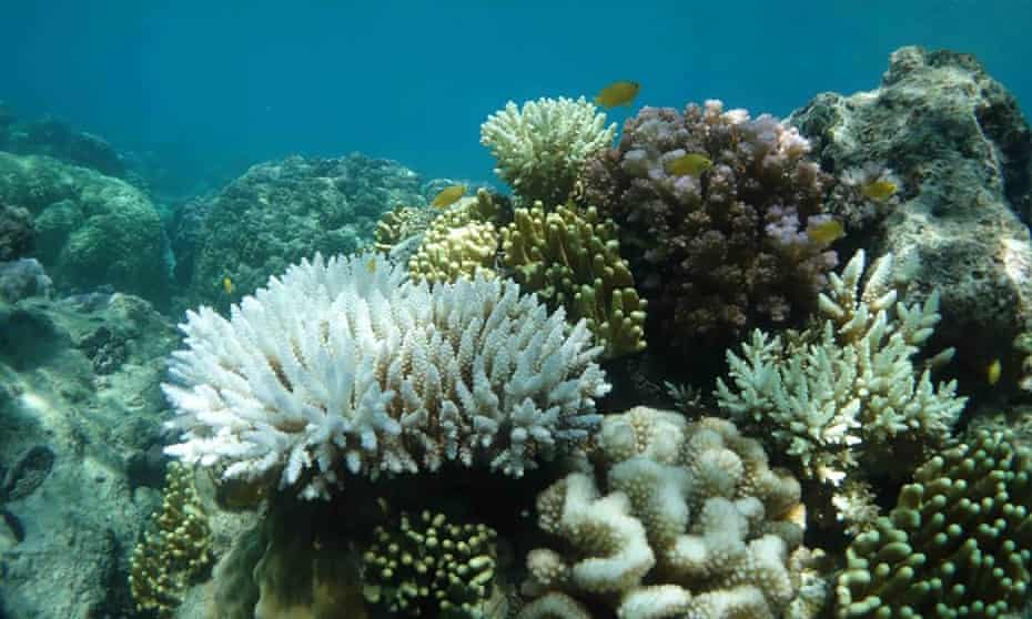 Scientists fear these images of heat stressed, bleached coral at Lizard Island on the Great Barrier Reef could be the start of another mass bleaching event.