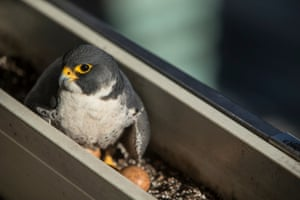 13/05/2015 Peregrines are adapting to breeding in cities around the world. Our tall office blocks & apartments are seen by them as pseudo cliffs.