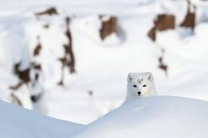 An Arctic fox on Alexandra Land, an island in the Franz Josef Land archipelago in the Arctic Ocean