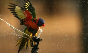 A rainbow lorikeet drinks from a water sprinkler