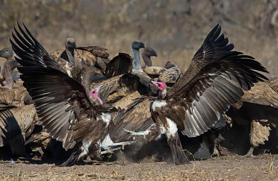 Hooded vultures are critically endangered at a global level and Guinea-Bissau has one of the best populations in Africa.