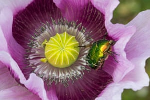 A Rose Chafer beetle (cetonia aurata), feeds in poppy in Bournemouth, UK
