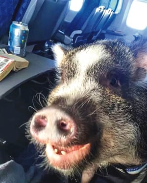 Pig on board a plane