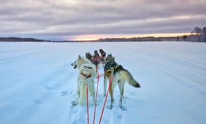 Huskies in Lulea, Swedish Lapland
