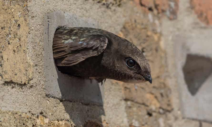 A swift looks out of a specially designed nest brick