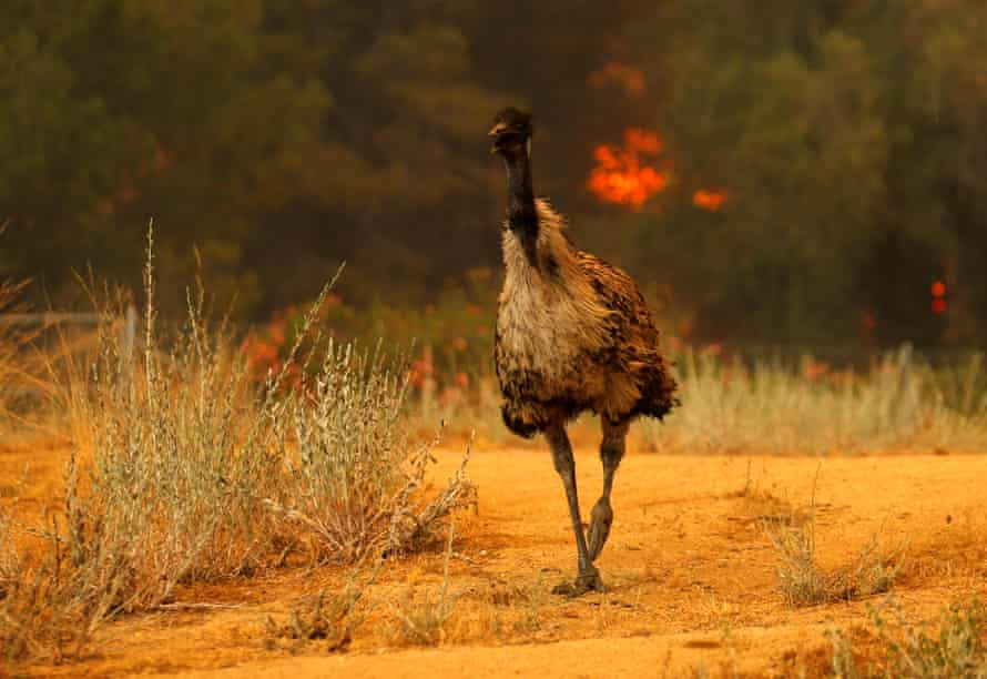 Mike Blake: 'The emu zooms past me as I zoomed out with my lens, I spun and followed him around as he headed off into a field away from the flames.'