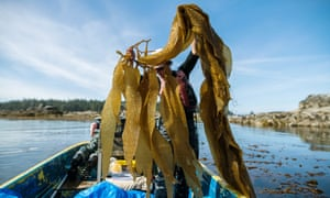 Canadian Kelp workers harvest their crop in the Barkley Sound, Canada.