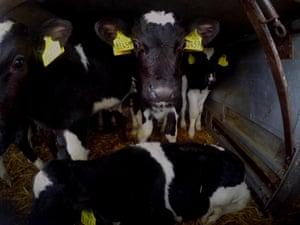 Calves in transit