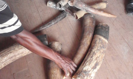 Seized elephant tusks from the Congo.