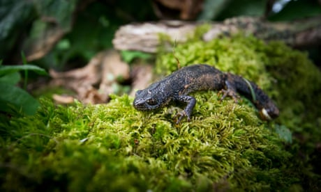 Country diary: a dead newt marks the end of the line
